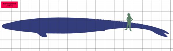 800px-Basilosaurus_SIZE_01