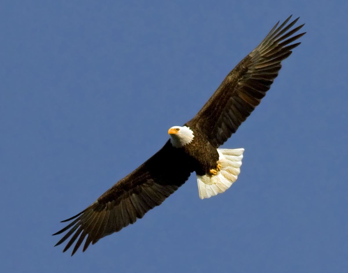 Bald-eagle-soaring